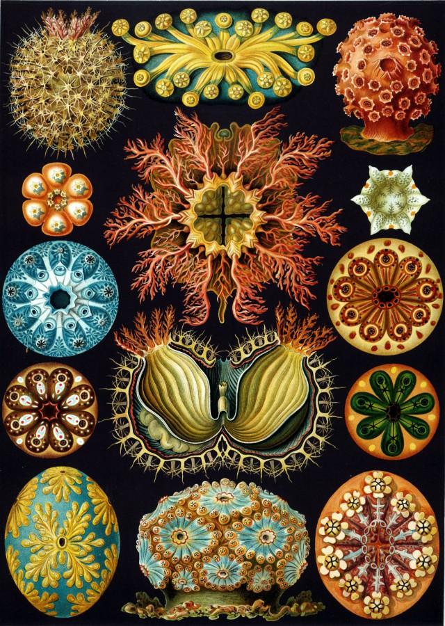 Ernst Haeckel: Kunstformen der Natur 1904