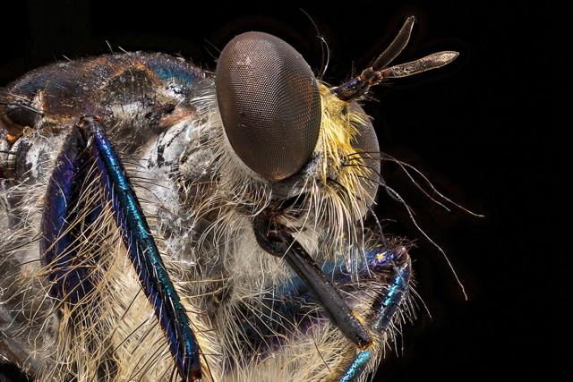 Foto: Bernhard Schurian (Asilidae Maira splendida)